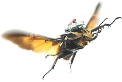 Armer Käfer! Manipulation via Elektroschocks (Foto: UC Berkeley)